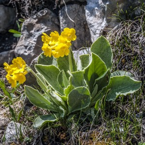 Alpenaurikel (Primula auricula) Streng geschützte Primel