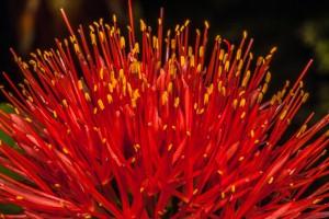 """Scadoxus multiflorus (Blutblume) manchmal auch als """"Feuerball-Lilie"""" genannt"""