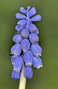Kleine Traubenhyazinthe (Muscari botryoides) Bei uns im Garten