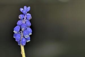 Kleine Traubenhyazinthe (Muscari botryoides) Bei uns im Garten- Fostacking