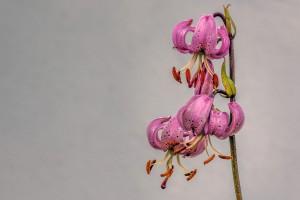 Türkenbund (Lilium martagon) Bei uns im Garten fotografiert
