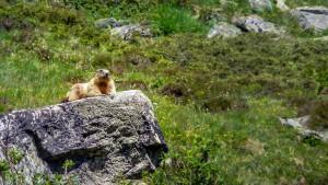 Murmeltier am Obergurgler Klettersteig Last mich in Ruhe, bin beim chillen