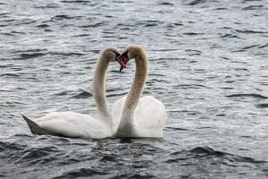 Liebesgeflüster Höckerschwäne auf dem Starnberger See