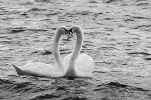 Liebesgeflüster Höckerschwäne auf dem Starnberger See Bearbeitung in B&W