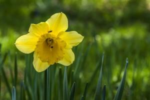 Die Glöckner der Osterglocke Gelbe Narzisse, auch Osterglocke genannt