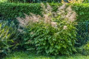 Wald-Geißbart (Aruncus dioicus) Die ganze Staude im Garten
