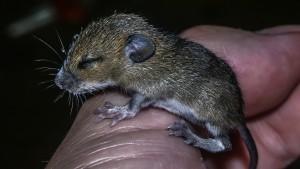 Einmal wärmen bitte! Maus-Baby 12 Tage alt