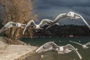 Nach einem stürmischen Flug Möwen am Starnberger See