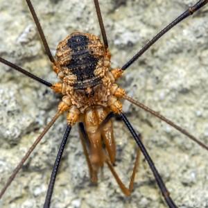 Daddy Longlegs Weberknechte (Opiliones)