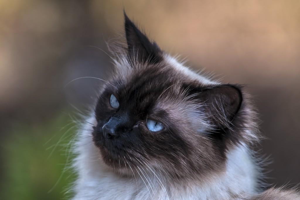 Spatzl schau wia i schau Sally, eine Siam-Mix-Kätzin