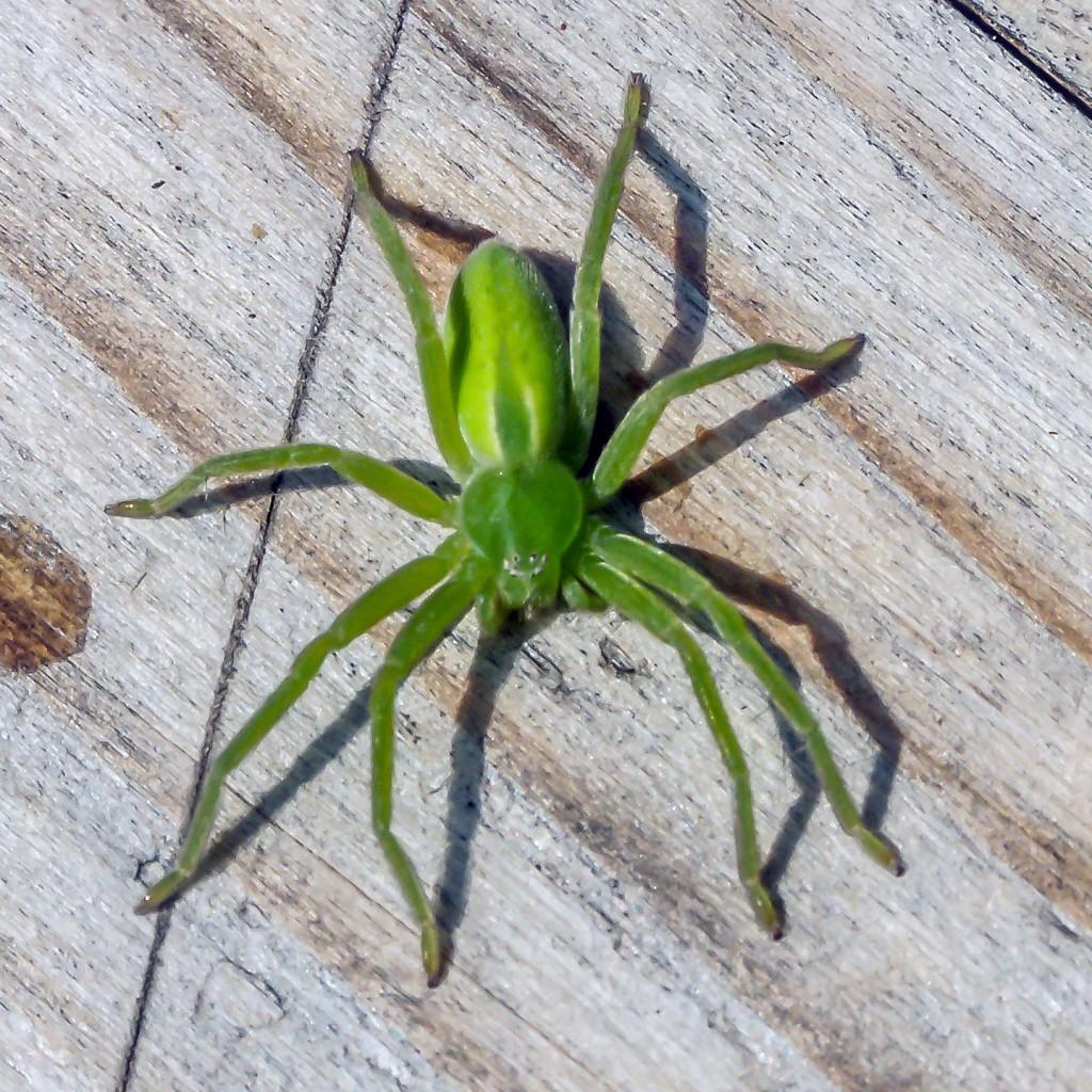Grüne Huschspinne (Micrommata virescens) Weibchen