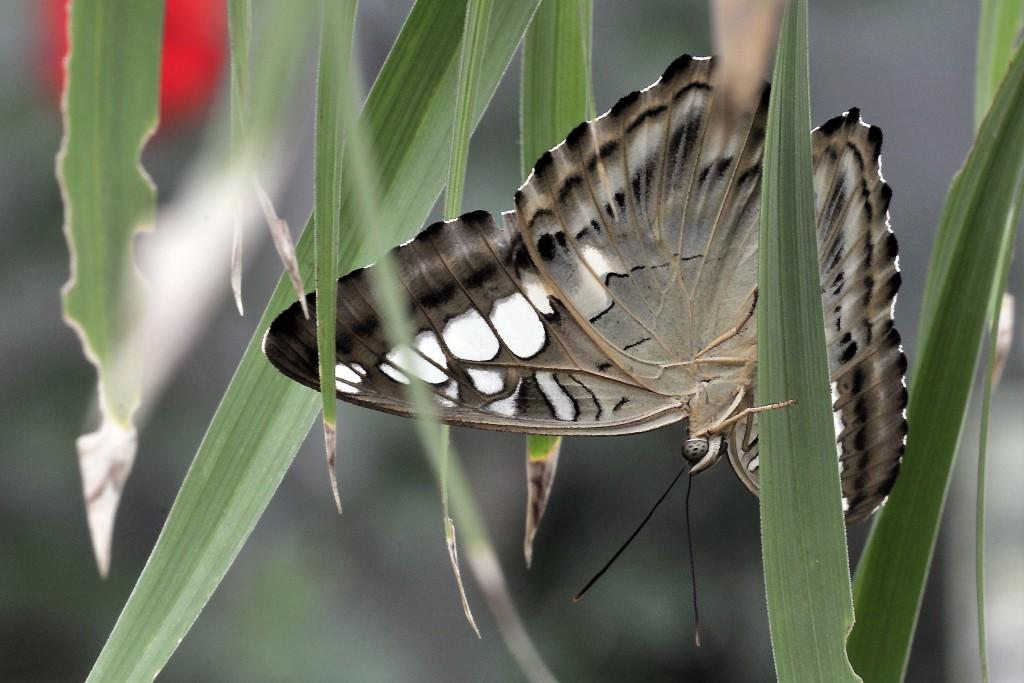 Blauer Scheckenfalter (Parthenos sylvia)
