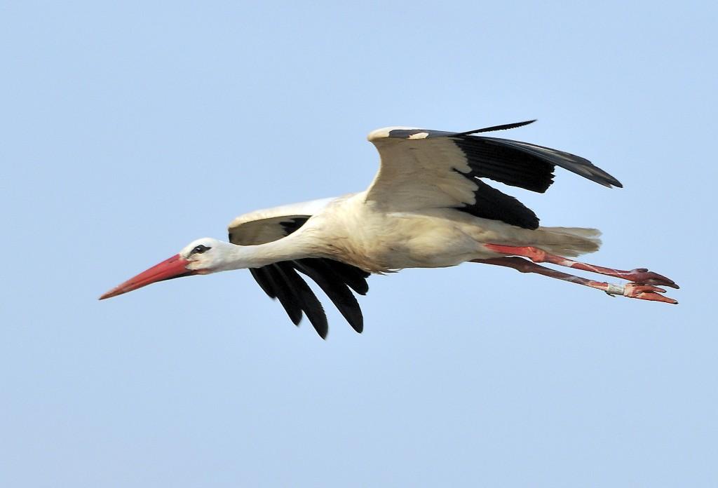 Überflug Weißstorch (Ciconia ciconia)