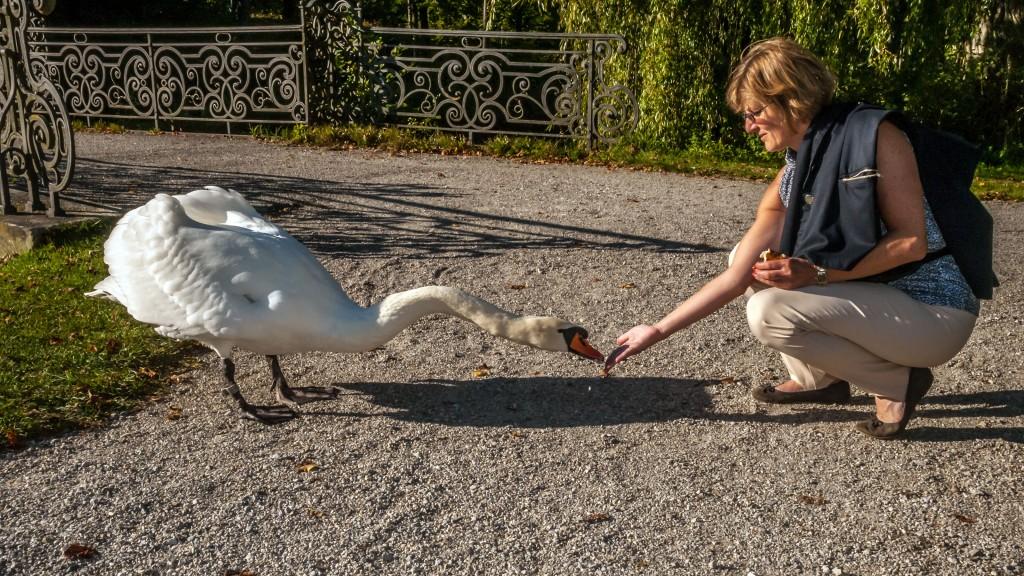 Begegnung Höckerschwan (Cygnus olor) im Schlosspark Schleißheim