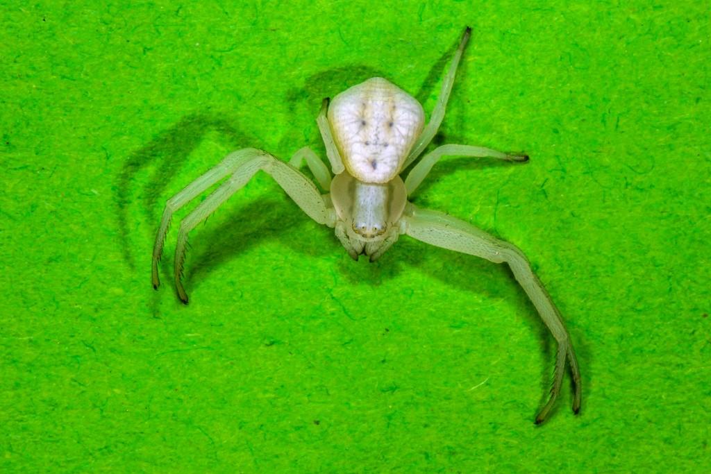Krabbenspinne (Thomisidae)