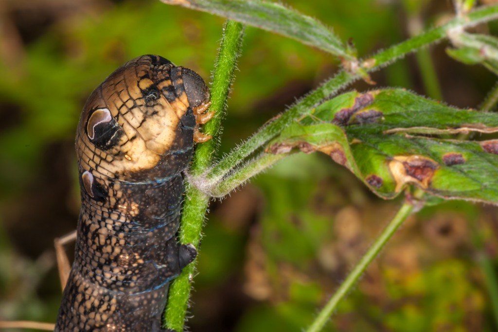 Raupe vom Mittlerern Weinschwärmer (Deilephila elpenor)