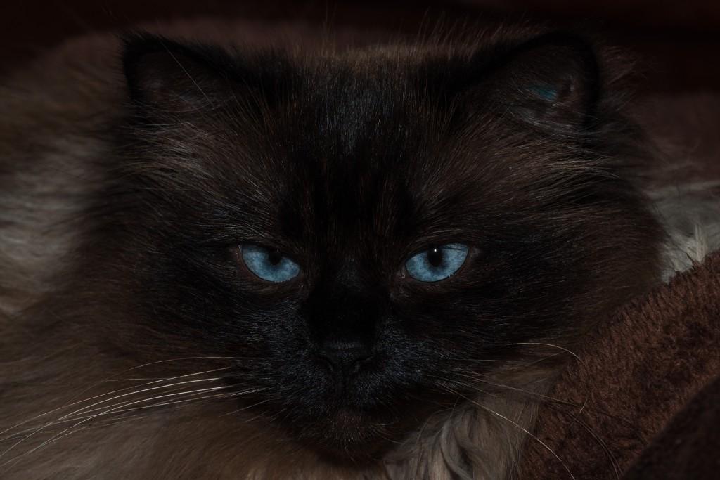 Blaue Augen Sally, eine Siam-Mix-Kätzin