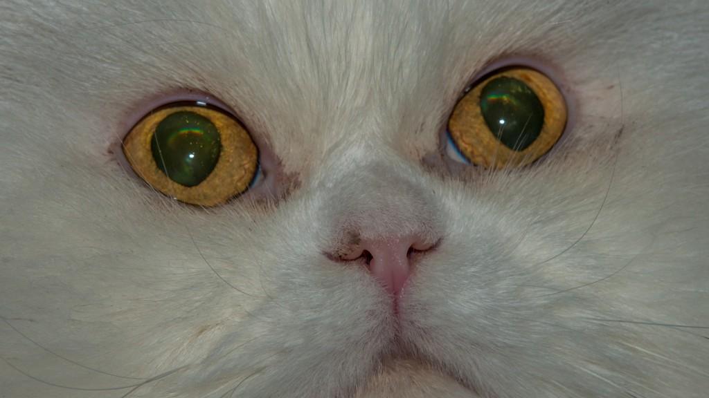 Können diese Augen lügen? Unser Perser-Mix-Kater O´Malley