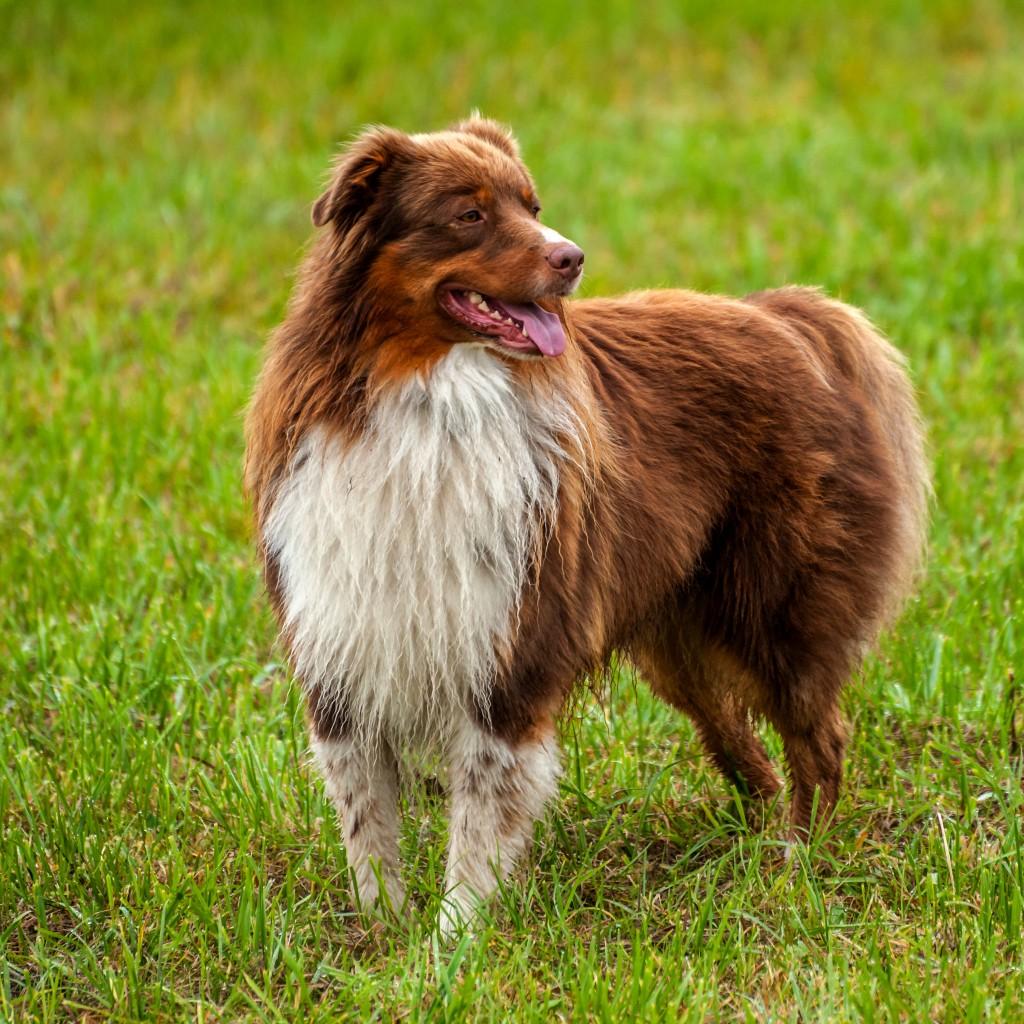 Welpentreffen vom 24.10.2015 - 3/6 Australian Shepherd Rüde Benny