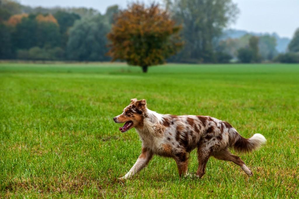 Welpentreffen vom 24.10.2015 - 3/6 Australian Shepherd Hündin Bambi