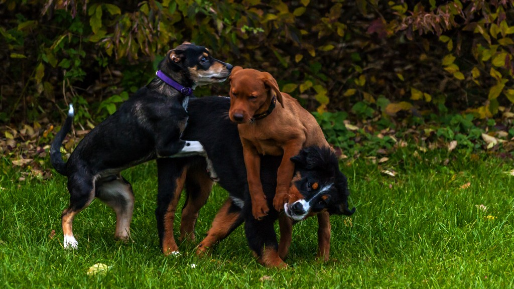 Ein Hundeknäul Berner Sennerhündin 18 Wochen alt