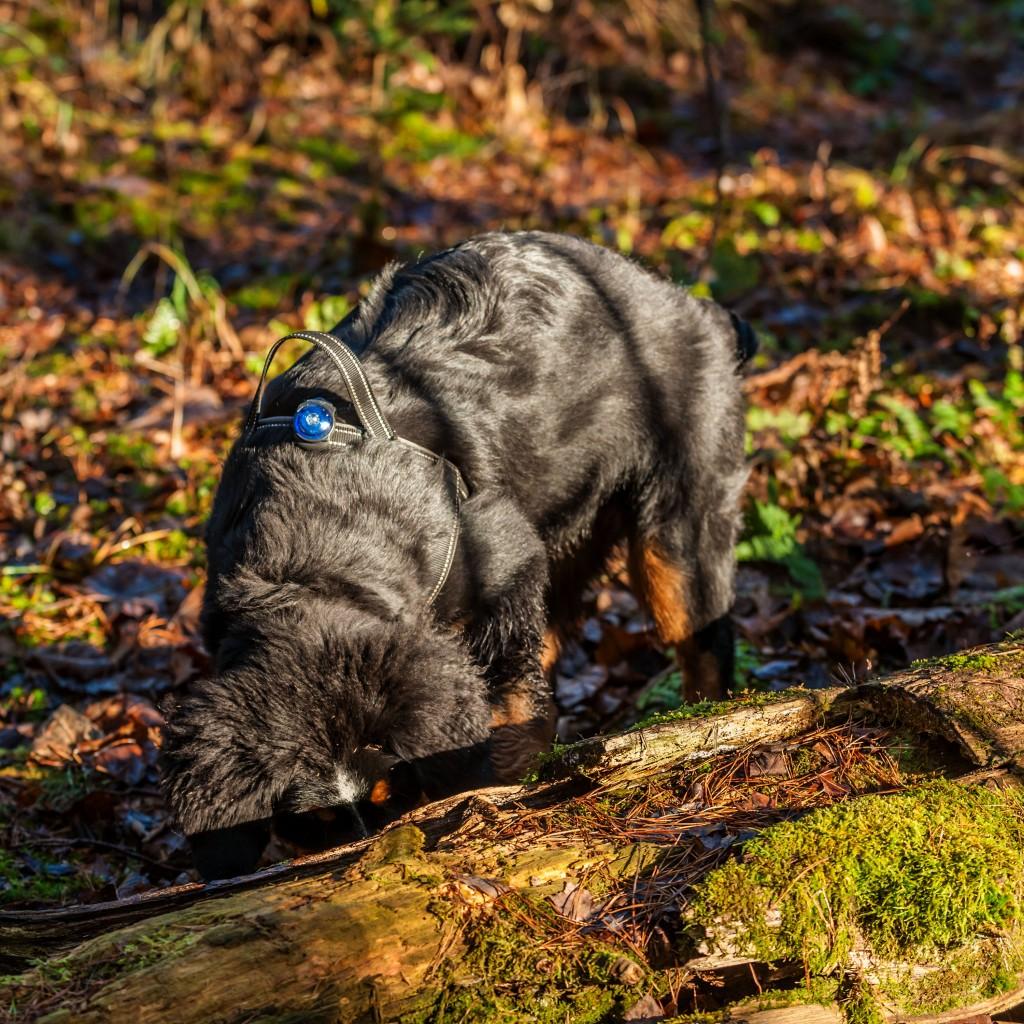 Ausbildung zum Leckerlisuchhund Berner Sennerhündin 21 Wochen alt