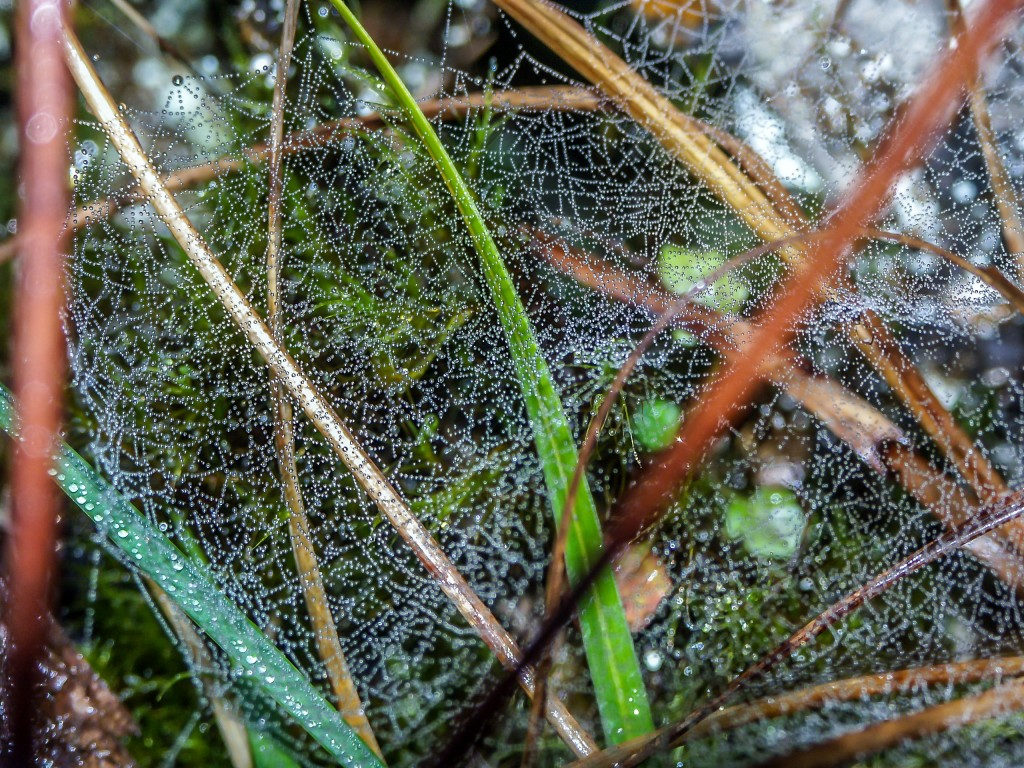 Tautropfen im Spinnennetz