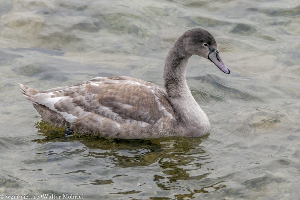 Junger Höckerschwan (Cygnus olor)