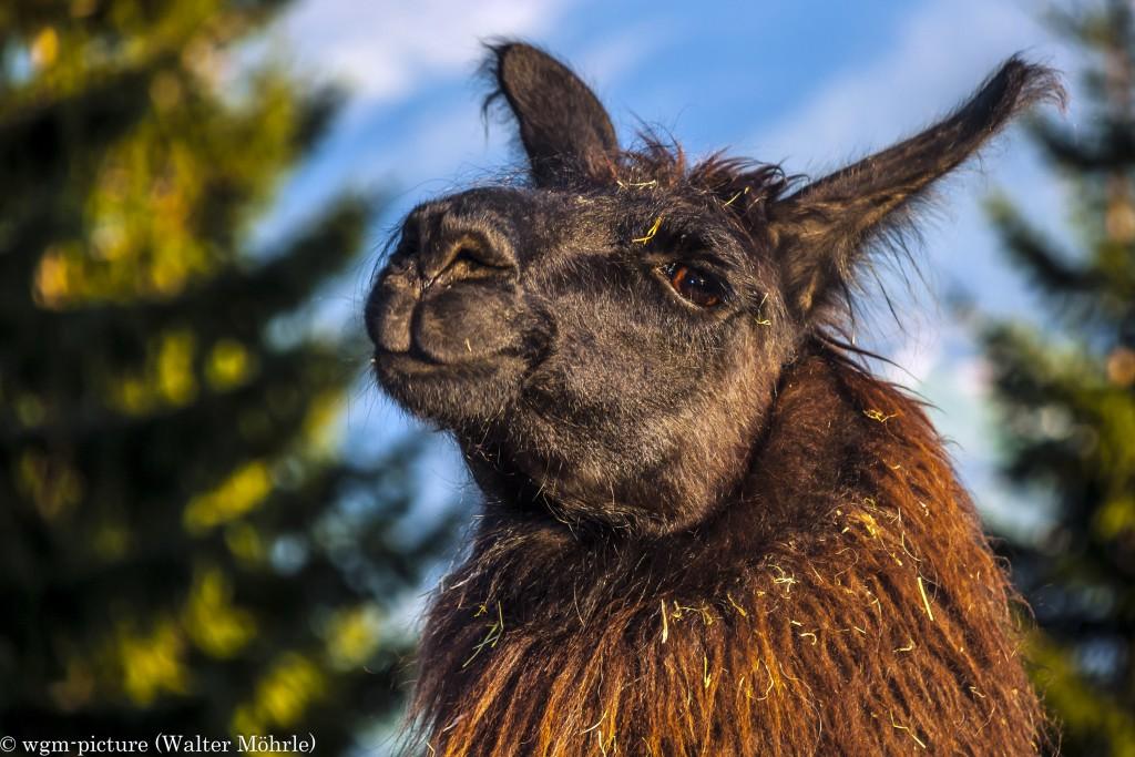 Lama auf der Hinterhornalm