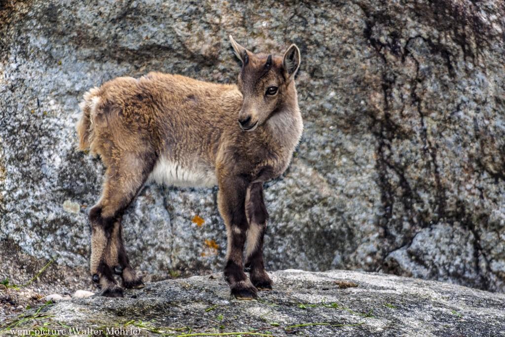 Bock auf Böckchen? Alpensteinbock (Capra ibex)
