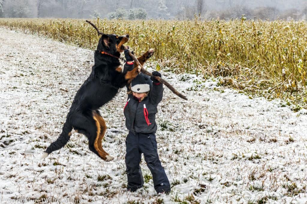 Hazel´s erster Schnee Berner Sennerhündin 25 Wochen alt