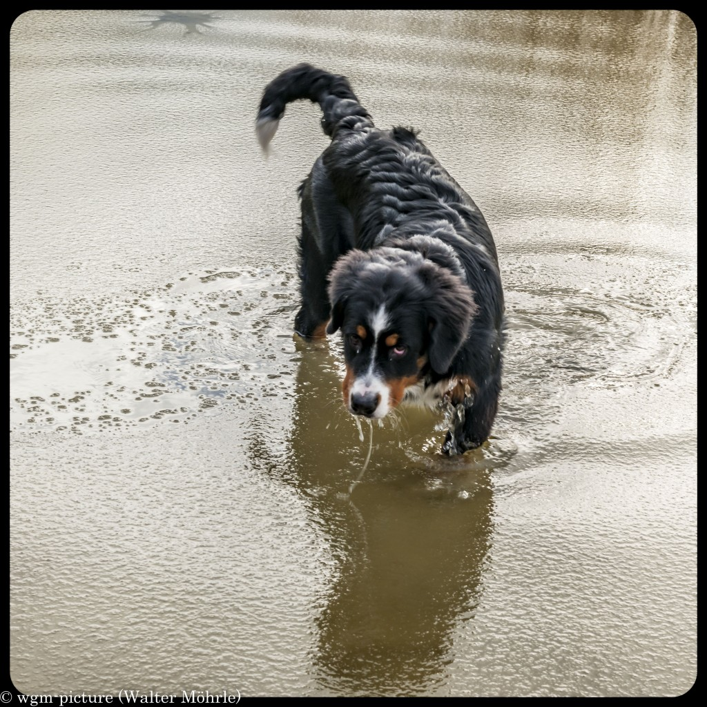 Hazel unser Seehund Berner Sennerhündin 25 Wochen alt