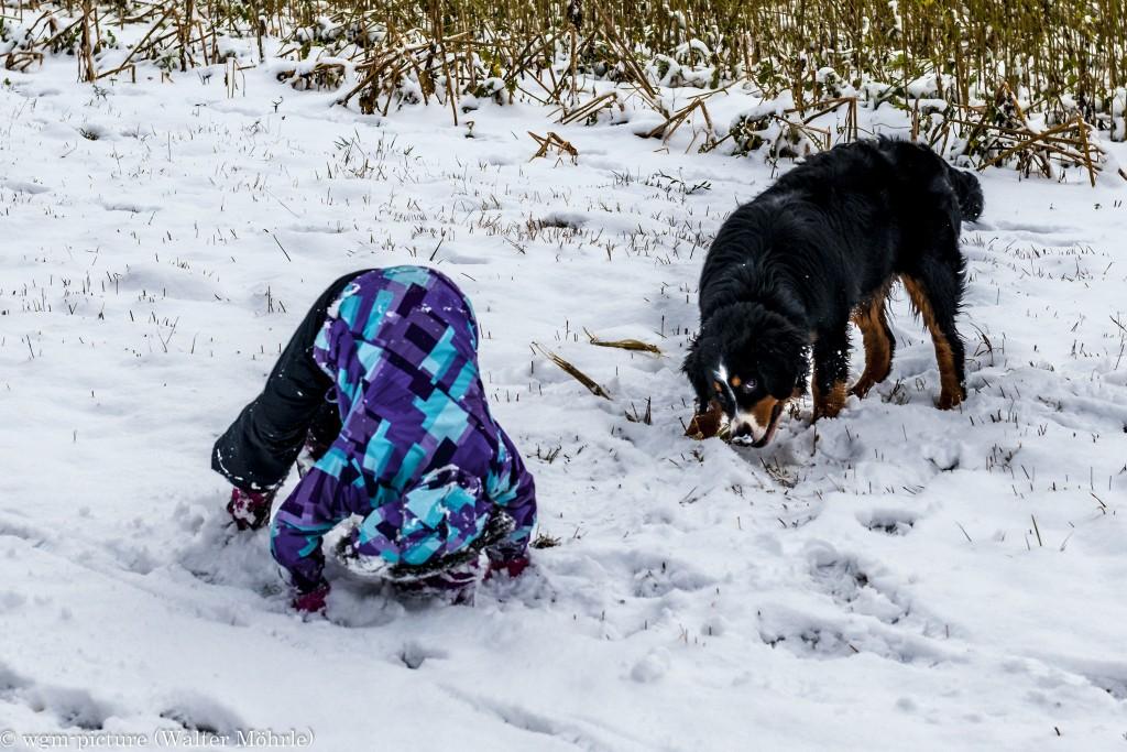 Purtzelbaum im Schnee Berner Sennerhündin 27 Wochen alt