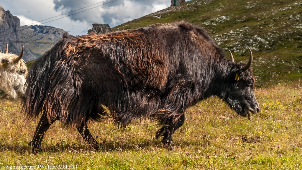 Grunzochsen am Sellapass Yak (Bos mutus)