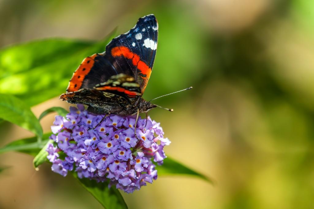 Bald fliegen sie wieder Admiral (Vanessa atalanta, Syn. Pyrameis atalanta)auf dem Schmetterlingsstrauch (Buddleja davidii)