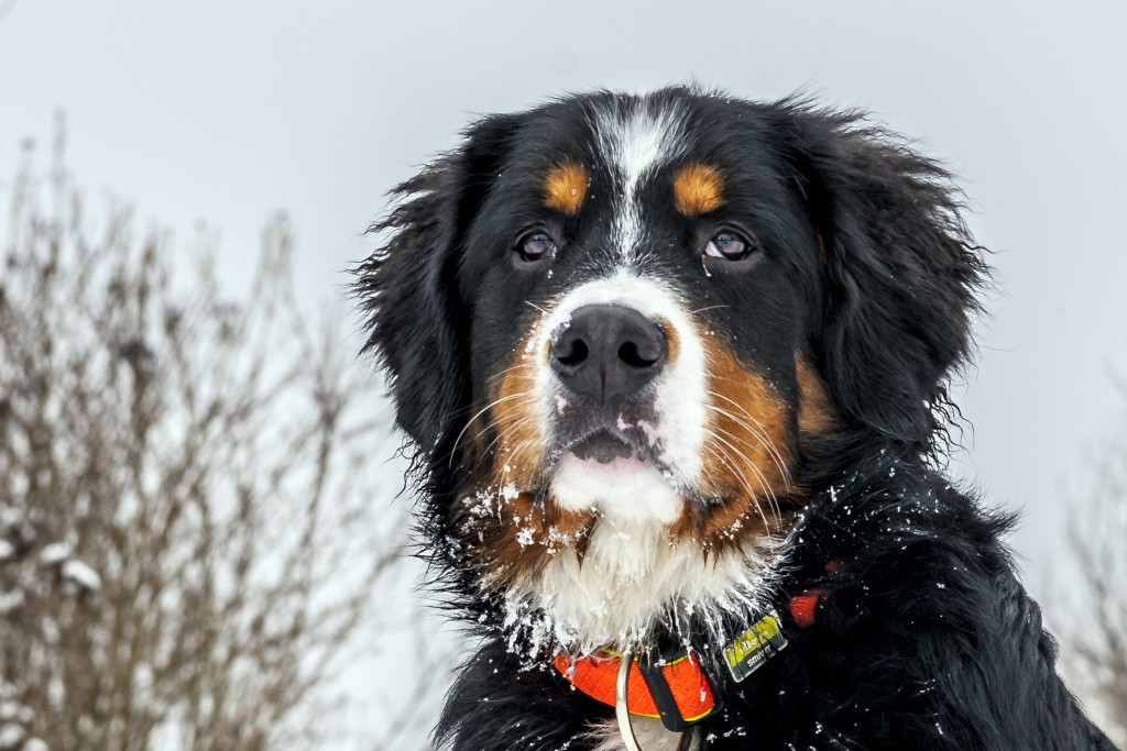Hundeportrait im Wechsel der Jahreszeit Berner Sennerhündin 27 Wochen alt