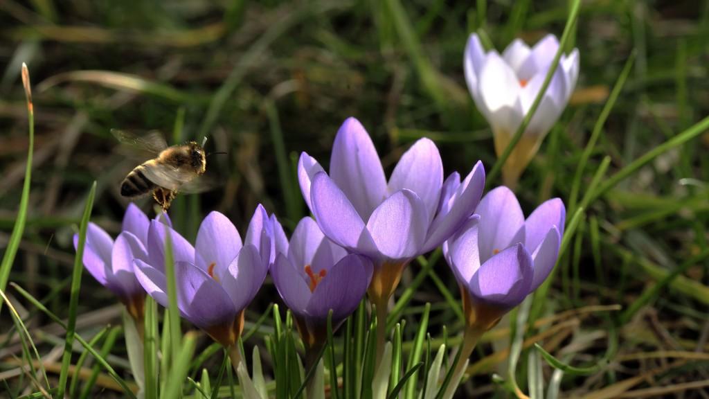 Landung im Frühling Krokus (Crocus) mit einer Biene (Apiformes)