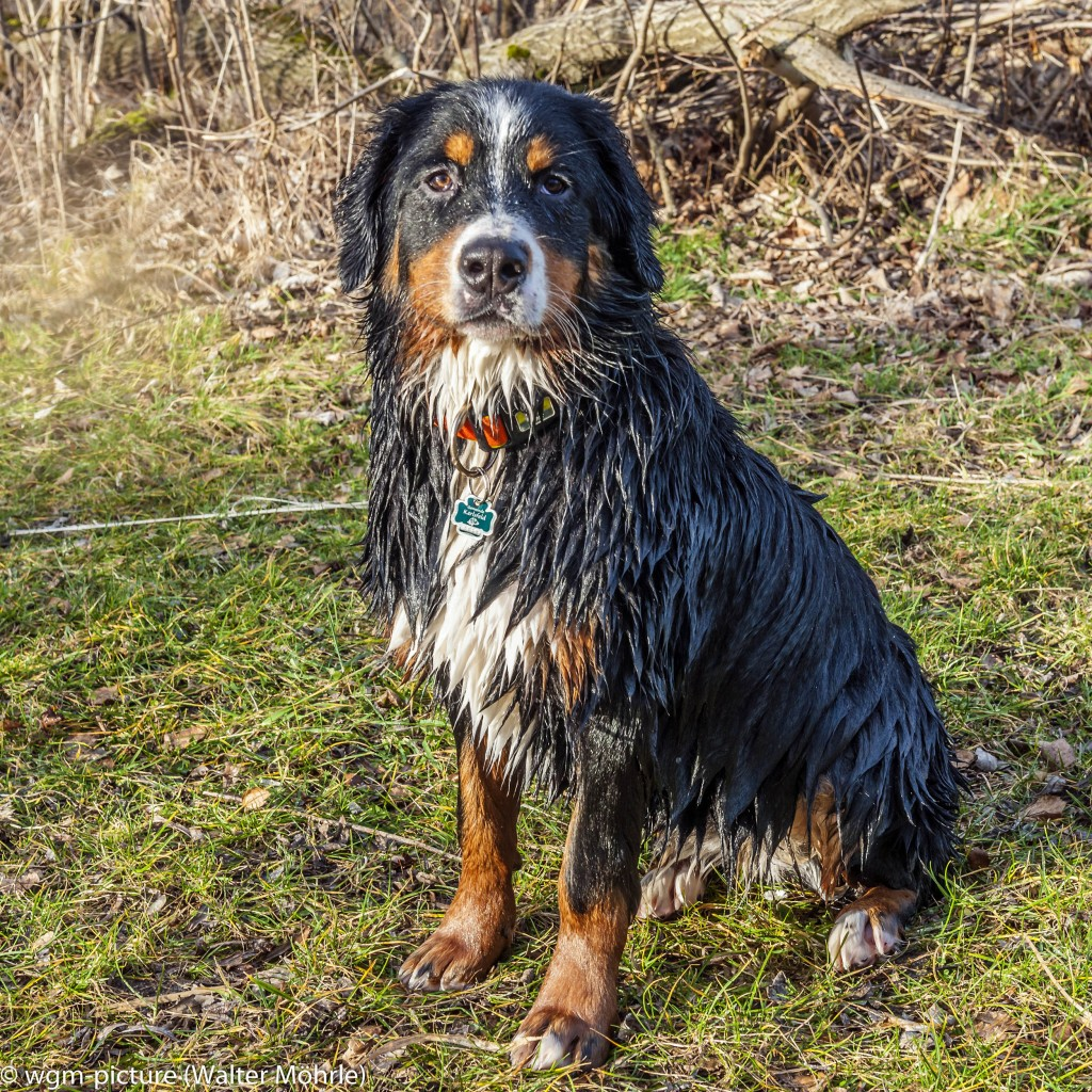 Hundeportrait im Wechsel der Jahreszeit Berner Sennerhündin 29 Wochen alt