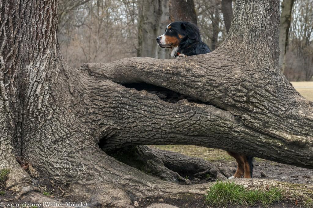 Mal sehn wo hier Hunde sind Berner Sennerhündin 30 Wochen alt