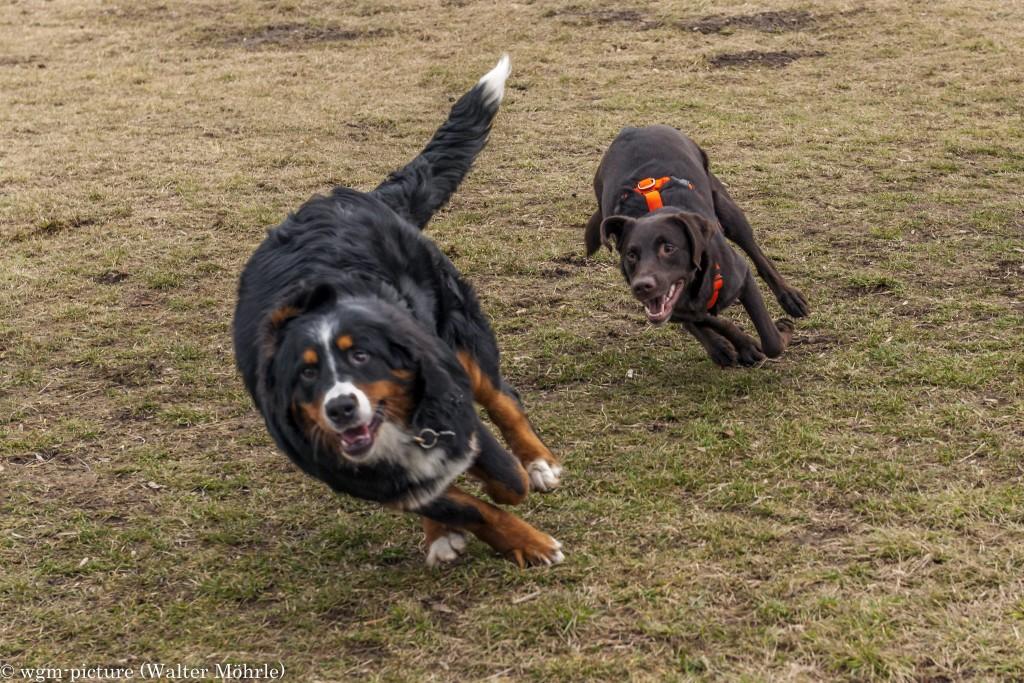 Hazel liebt Labradore Berner Sennerhündin 30 Wochen alt