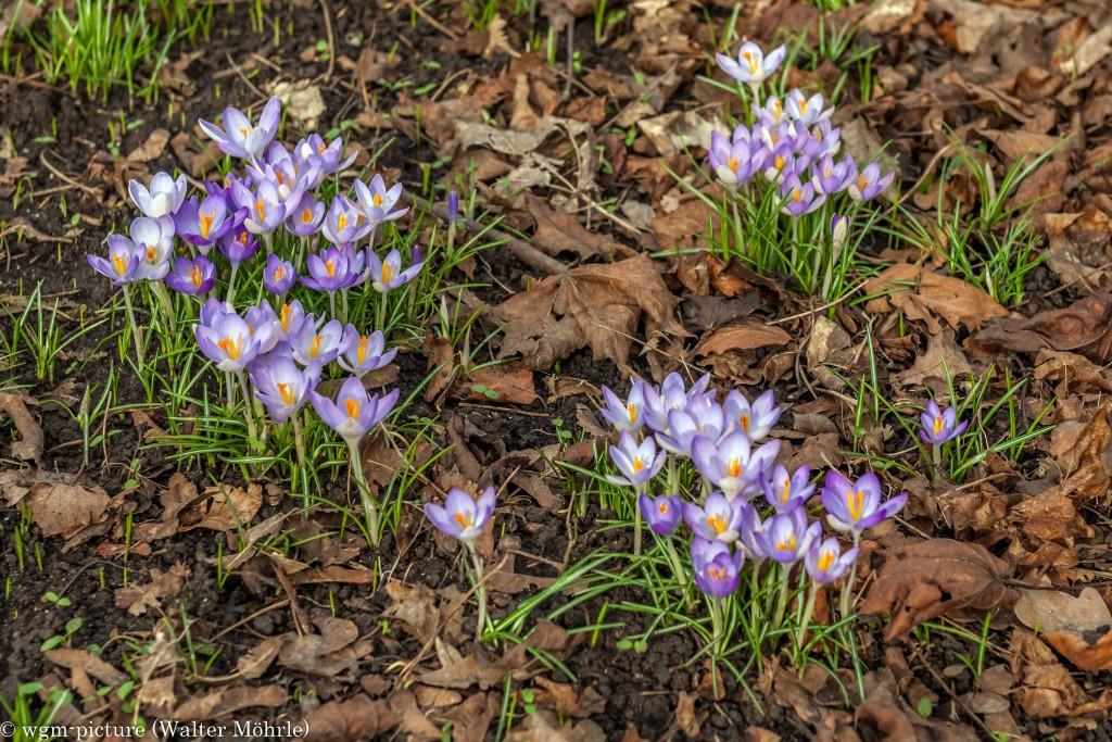 Frühling in München Krokusse (Crocus)