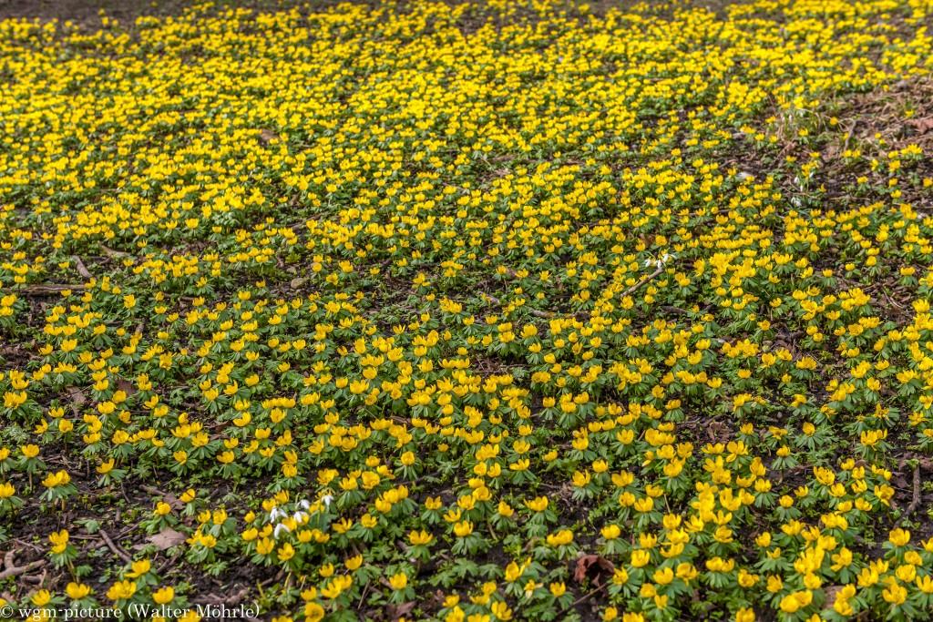 Frühling in München Winterlinge (Eranthis hyemalis) mit Schneeglöckchen (Galanthus)