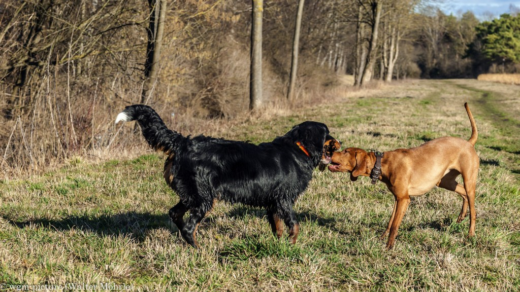 Zwei Hunde und ein Stöckchen Berner Sennerhündin 30 Wochen alt