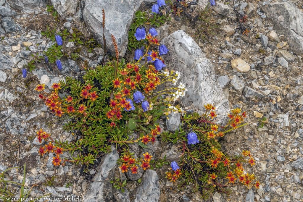 Pioniere der Alpen 4 Eine der vielen Fetthennen (Sedum)-Arten, auch Muerpfeffer genannt mit der Zwerg-Glockenblume (Campanula cochleariifolia)