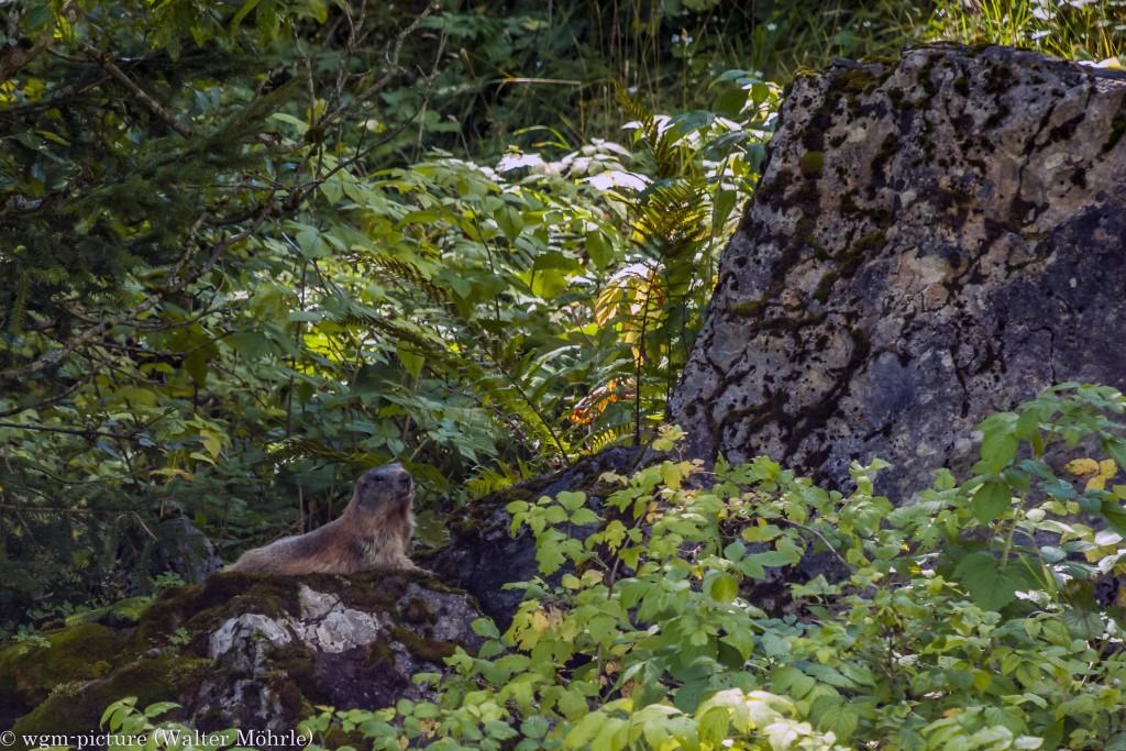 Talwächter Murmeltier (Marmota)