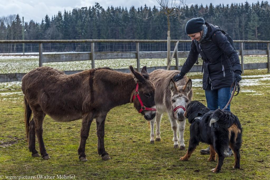 Eine tierische Begegnung Berner Sennerhündin 34 Wochen alt