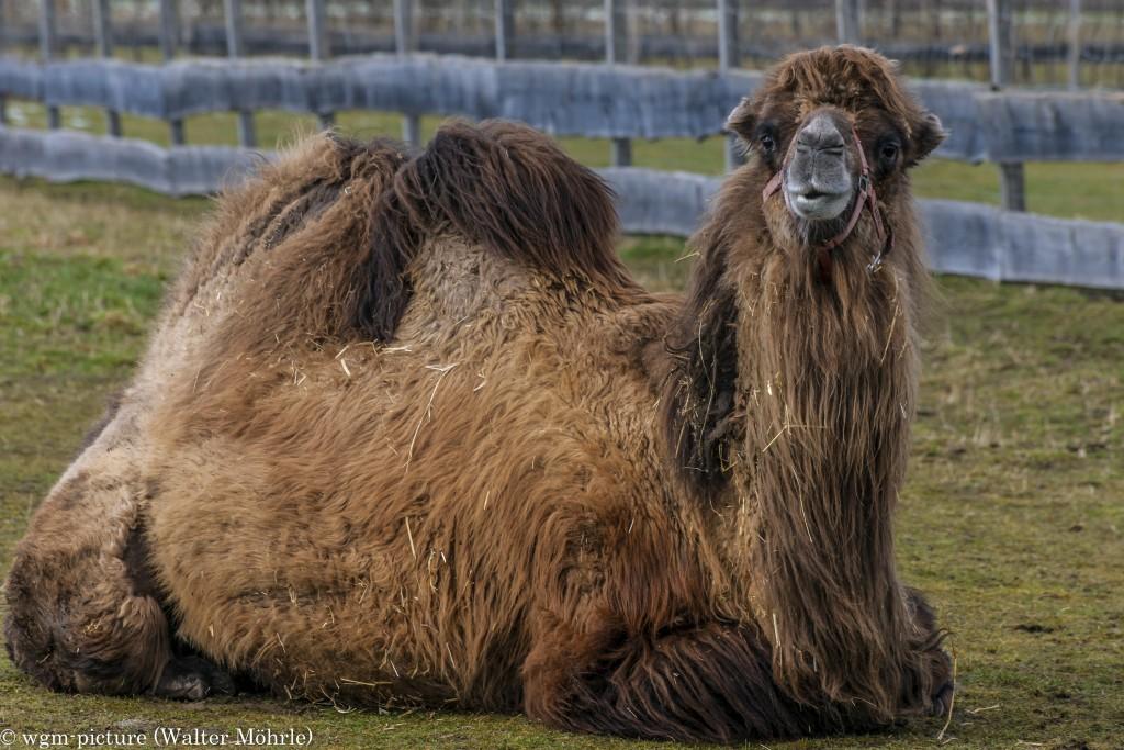 Kameldame Franzi - Kamele (Camelidae)