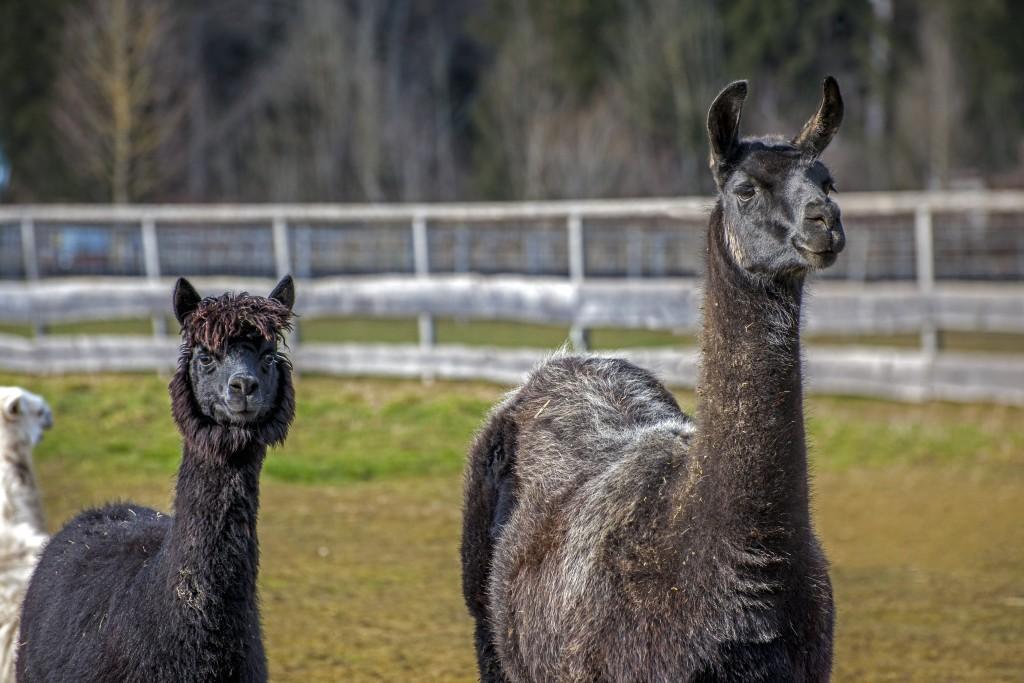Alpaka (Vicugna pacos) mit einem Lama (Lama glama)