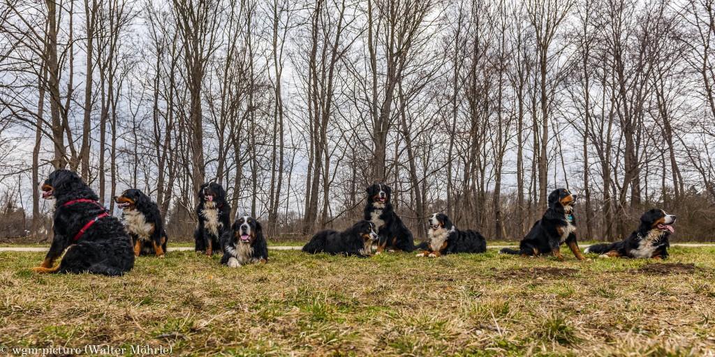 Berner Sennenhundetreffen bei Gräfelfing mit unserer Berner Sennerhündin Hazel 35 Wochen (8 Monate) alt