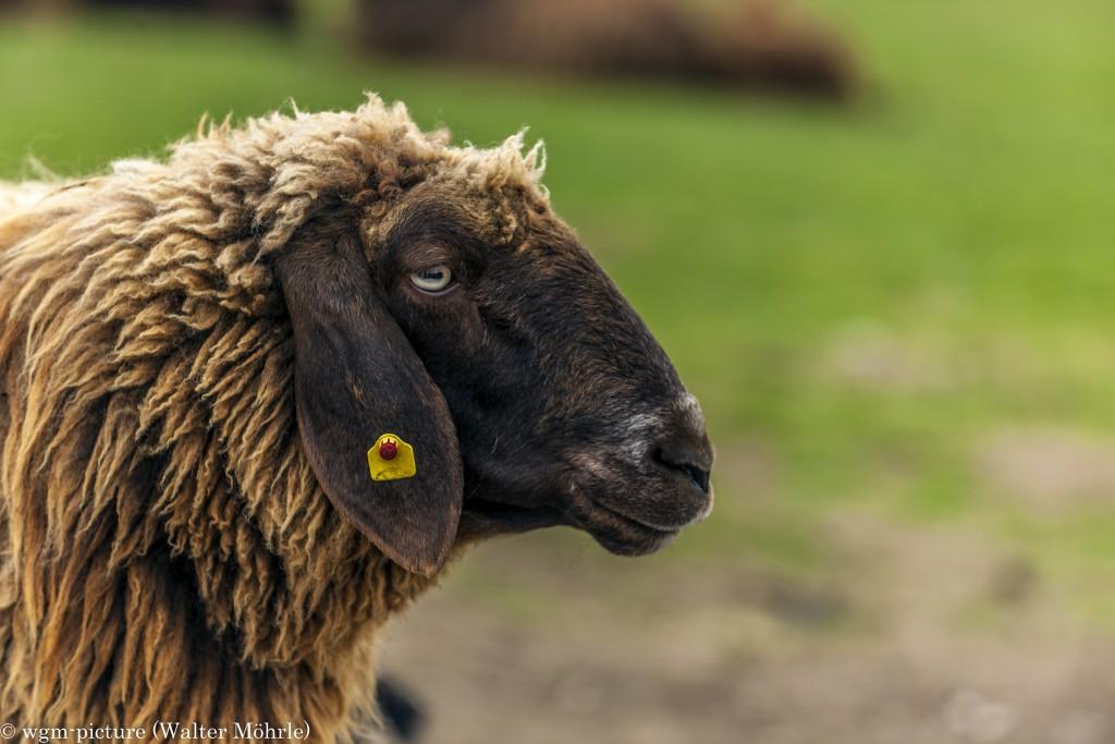 Schafwohl fühlen